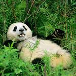 panda1 thumbnail