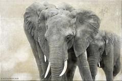 family (JuttaMK) Tags: texture 1 kenya african explore elephants 2015 mauekay