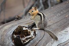 Golden-mantled Ground Squirrel (Peter-D-Smith) Tags: california usa wildlife devilspostpile goldenmantledgroundsquirrel canonef100400mmf4556lisusm callospermophiluslateralis canoneos5dmkiii september2015