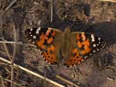 Distelfalter [ Painted Lady ] [ Tistelfjril ] ( Vanessa cardui ) (ritschif) Tags: butterfly outdoor natur tier insekten schmetterlinge paintedlady vanessacardui distelfalter tagfalter dagfjrilar tistelfjril