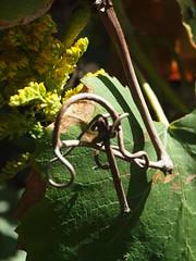 P1016075 (krystyna.bychowska) Tags: flora 2015 lato weintrauben winogrona