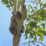 Koala Bär bear Australien thumbnail