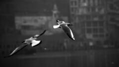 @ Varanasi, UP (Kals Pics) Tags: life blackandwhite india monochrome birds river blackwhite varanasi colorless holyland ganga ganges roi kasi cwc sati uttarpradesh banares lordshiva manikarnika templetown annapoorani rootsofindia kalspics chennaiweelendclickers