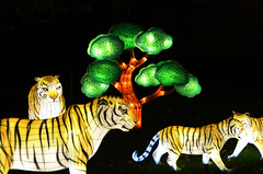 Lit Tigers (pokoroto) Tags: autumn canada calgary october alberta tigers lit 10 2015     kannazuki   themonthwhentherearenogods 27