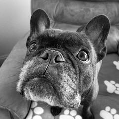 Dome (Lainey1) Tags: leica bw dog monochrome oz bulldog frenchie frenchbulldog ozzy frogdog lainey1 zendog leicadlux4 elainedudzinski ozzythefrenchie