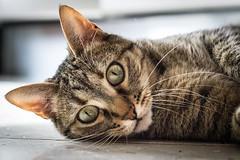 (Cristina Laugero) Tags: cat chat gatto domestico animale tigrato