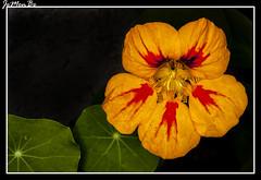 Taco de reina, capuchina (Tropaeolum majus) (jemonbe) Tags: tropaeolum majus capuchina tropaeolummajus peln tacodereina espueladegaln jemonbe