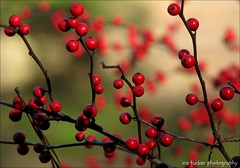 The most beautiful thing we can experience is the mysterious. It is the source of all true art and all science. He to whom this emotion is a stranger.... (itucker, thanks for 1.9+ million views) Tags: macro bokeh holly dukegardens winterberryholly hbw harvestred