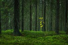 (PaiviSvanback) Tags: autumn forest suomi finland landscape mets syksy liesjrvi liesjrvinationalpark