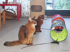 Ready for tunneling (Finn Frode (DK)) Tags: cats play rustle tunnel tease feather wand rags dusharatattersandrags caithlin dusharacathalcaithlin somali somalicat som olympus omdem5 denmark animal pet cat indoor