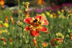 Britzer_Garten_Berlin_Dahlien-9 (Mariane Sgarbi) Tags: berlin britzergarten dahlien dalias flowers flores park garten primavera fruhling