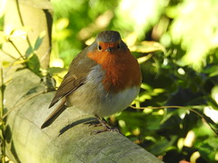 A beautiful little robin (blue33hibiscus) Tags: robin