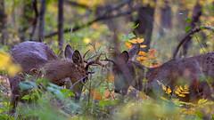 RoundTwo (jmishefske) Tags: wehr october nikon nature d500 center whitnall 2016 franklin antler rut wildlife rack wisconsin whitetail sparring park buck fighting deer milwaukee
