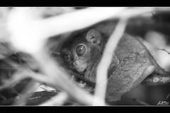 IMG_6541 (jlpvina) Tags: leo vina photography canon eos 7d philippines pilipinas visayas bohol tarsier little monkey