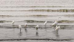 Intermediate Egret (Ardea intermedia) (Arturo Nahum) Tags: cairns queensland australia bird aves pajaros wildlife nature birdwatcher intermediateegret ardeaintermedia arturonahum