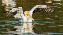 Parade of Pelicans... (Wideangle55) Tags: 600mm sanjoaquinmarsh wildlifesanctuary sanjoaquinmarshwildlifesanctuary wideangle55 nikon d800 colors birds yellow 14teleconverter pelican americanwhitepelican whitepelican blue
