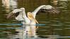 Parade of Pelicans... (Wideangle55) Tags: 600mm sanjoaquinmarsh wildlifesanctuary sanjoaquinmarshwildlifesanctuary wideangle55 nikon d800 colors birds yellow 14teleconverter pelican americanwhitepelican whitepelican blue