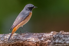 Phoenicurus phoenicurus - Codirosso - Redstart (M). (Ciminus) Tags: naturesubjects aves ornitology nature ciminus birds ciminodelbufalo phoenicurusphoenicurus afsnikkor300mmf28gedvrii uccelli garden oiseaux codirosso redstart ornitologia nikond500 wildlife