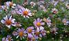 Fioletowe (maciey24) Tags: violet fiolet fioletowe kwiatki plants flowers nature natura przyroda autumn fall jesień colorful color colour kolorowe kwiaty kwiat kwiatek
