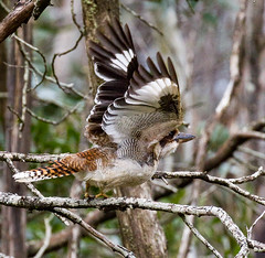 Taking flight (shashin62) Tags: australia victoria nature bird fauna kookaburra kingfisher flight mtmacedon