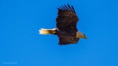 Bald Eagle in flight 1 (kensparksphoto) Tags: bald eagle bird flight alberta calgary canada flying soar soaring prey sky fishcreekpark