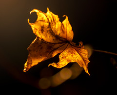 Transparency (RK - Photography) Tags: herbst autumn hdr raw franken natur nature beautiful light colors artistic beauty bokeh unscharf struktur pattern transparenz durchsichtigkeit durchscheinen transparent orange gelb impressionen macromondays