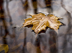 final resting spot (marianna_a.) Tags: p2940366 autumn fall leaf fallen wet water pond puddle reflection trees park canada maple red yellow vibrant meniscus tension surface mariannaarmata