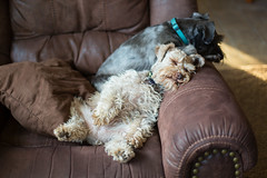 It's a hard knock life... (Cheryl3001) Tags: canon 50mm 5d dog schnauzer brown black sleeping chair nikcollection