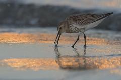 dunlin- piovanello pancianera (leonardo manetti) Tags: wildlife wild nature bird birds animal animals nikon leonardomanetti dunlin