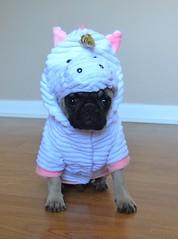 Boo The Unicorn Pug (DaPuglet) Tags: pug pugs dog dogs pet pets animal animals puppy puppies unicorn costume halloween horn cute funny horse pony
