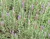 Lavender Plants (OSChris) Tags: lavender proyectolavanda guanajuato mexico plant doloreshidalgo