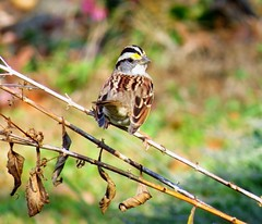White-Throated Sparrow (Hayseed52) Tags: whitethroated sparrow bird fall