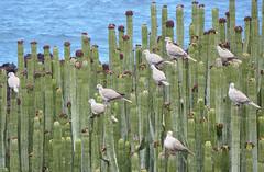 La Palma 19 (megegj)) Tags: gert cactus vogels birds