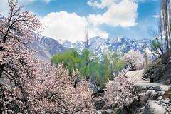 Apricot flowers in full bloom, Gulmit, Pakistan (travelingmipo) Tags: travel photo film pakistan     pakistani  pamir karakoram   hunza hunzavalley  karakoramhighway  kkh gulmit  gojal  mountains  spring    flowers landscape apricot   bloom shangrila