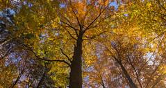Beech forest at autumn (carlo.goweather) Tags: beech forest colour love eos canon canoneos100d canon100d canon1018 canoneos tarnova faggio foresta trees tree lovenature lovenatura lokve slovenia iloveslovenia slovenija