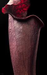 Sarracenia alata 'Black Tube' x flava 'Red Tube' (Hejemoni (@fbauzonx on Instagram)) Tags: sarracenia alata flava blacktube redtube cultivar red black color colors light lighting shadows organic nature texture pattern curves lines strobist 85mm lowkey plant plants carnivorousplants