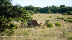 DSC02403.jpg (ChrMous) Tags: tamronsp150600mmf563 hartenbeest southafrica zoogdieren zuidafrika sonyslta99 animals 2016 alcelaphusbuselaphus redhartebeest