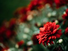 306/366 (Garen M.) Tags: flowers lumixleicadgmacroelmarit45mmf28 olympusomdem1 macro mum mums red velvet