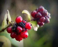 300.365.2016 (johnny the cow) Tags: berries red hedgerow llanafan ceredigion wales cymru aberystwyth 365 366 2016 catalogue collection diary photo aphotoaday