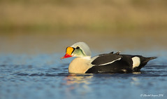 King Eider, Barrow, Alaska (Chantal Jacques Photography) Tags: kingeider barrow alaska ducks tundra wildandfree bokeh