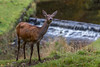 Studley Royal Deer Park (No9 (Tony)) Tags: deer red studley royal waterfall autumn doe