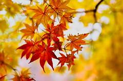 sapporo 468 (kaifudo) Tags: sapporo hokkaido japan hokkaidogovernorsofficialresidence autumnscene maple autumnleave bokeh    nikon d750 sigma50mmf14art sigma 50mm