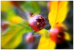 Nfle.... (crozgat29) Tags: jmfaure crozgat29 canon sigma jardin nature nfle automne