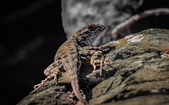 Miller Knox~~Western Fence Lizard  11/04/2016 (CatsMan2) Tags: westernfencelizard millerknox pointrichmond richmond calif