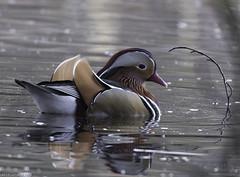 Mandarin Duck8 (lorrainejubb) Tags: duck mandarinduck