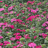 """Sweet William"" (idunbarreid) Tags: pink flower bed"