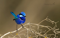 Splendid Fairy-wren male (shelley90) Tags: splendidfairywren fairywrens australianbird