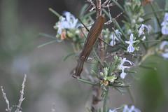 Mantis religiosa (esta_ahi) Tags: castellvdelamarca mantisreligiosa mantis religiosa mantidae mantodea insectos fauna peneds barcelona spain espaa