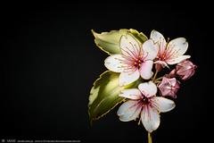 2016    Cherry Blossom 04 ( sakae) Tags:     cherry blossom    kanzashi hair pin ornaments        kimono  sakae       resin time out cnn     chromavision interbee2015