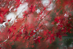 This beautiful land (tokyovisitor22) Tags: autumn trees leaves red blurred forest beauty colorful color nature sunny weekend sunshine japan tokyoviews tokyo fall season multiplyexposed tokyoview naturallight memories